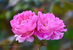 Pink Rose by hmxxyy via http://ift.tt/2gweqJZ