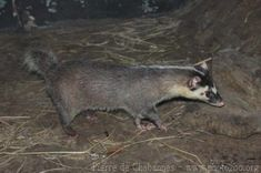 Burmese ferret-badger
