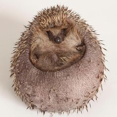 Overweight hedgehog who gorged on dog biscuits just one of many at risk from overfeeding