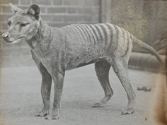 Thylacine, a marsupial commonly known as the Tasmanian tiger or the Tasmanian wolf. It is thought to have become extinct in the 20th century.