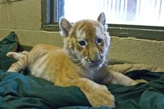 tiger, bengal, 2 month old Bengal cub by The Pug Father, via Flickr