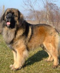 Leonberger - Perhaps the first dog to result from a marketing campaign, the Leonberger was created in the mid-19th century to resemble the lion on the town crest of Leonberg, Germany.