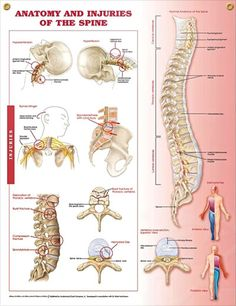 Anatomy and Injuries of the Spine poster focuses on injuries rather than disorders and includes fractures, herniated disc and spinal cord injury. Skeletal system chart for doctors and nurses.