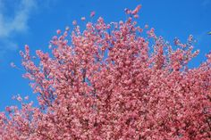 Cherry blossoms like flames on cherry tree in #Shillong
