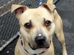 TO BE DESTROYED 5/17/14  Manhattan Center    My name is LIGHTNING. My Animal ID # is A0999619.  I am a male tan and white pit bull mix. The shelter thinks I am about 1 YEAR    I came in the shelter as a STRAY on 05/12/2014 from NY 10462, owner surrender reason stated was ABANDON.   https://www.facebook.com/photo.php?fbid=804127442933470&set=a.617938651552351.1073741868.152876678058553&type=3&permPage=1