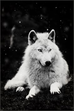 .: Snowfall :. by *WhiteSpiritWolf on deviantART