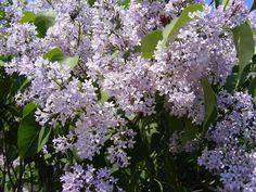 Taiati corect Liliacul si va face cascade de flori Wisteria, Garden Design, Floral, Face, Cottages, Gardening, Beautiful Flowers, Bonito, Plant