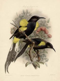 Moho Nobilis pair from Laysan Island, Hawaii (extinct) lithograph by JG Keulemans (c1890s) from The Avifauna of Laysan and the Neighbouring Islands by Lionel Walter Rothschild.