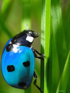 I never seen a blue ladybug- are they just as lucky???