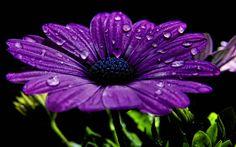 purple gerbera daisy