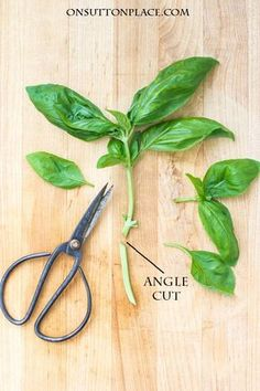 to Propagate, Chop & Freeze All About Basil: Growing, Propagating, Chopping & Freezing Growing Herbs, Growing Vegetables, Basil Growing, Container Gardening, Gardening Tips, Vegetable Gardening, Garden Plants, House Plants, Fruit Garden