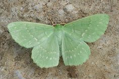 Gorgeous soft mint green moth wide wings w/ small white repetitious spots