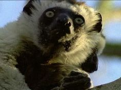 """HowStuffWorks """"Why do lemurs live only in Madagascar?"""""""