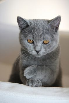Gorgeous Chartreux, the official cat of France. So sweet, playful personalities.