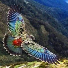 Beautiful flying Kea #parrot Kea parrot found only in the south island new Zealand and the only Alpine parrot in the world.