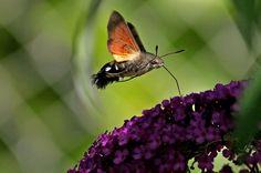 mi-oiseau, mi-papillon, mi-mouche, le moro-sphinx est un papillon étonnant :