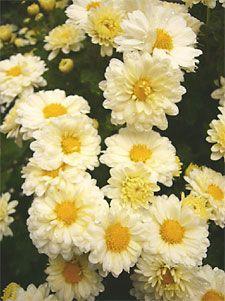 Ju Hua Cha (chrysanthemum flower tea)