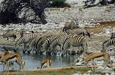 Etosha National Park, Namibia- spent many hours here~K