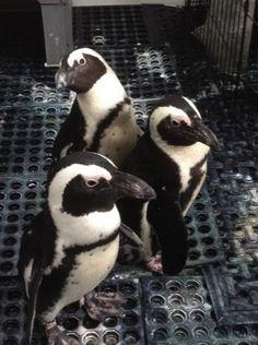 Penguins arrive in April 2015 at the Cleveland Zoo Cleveland Zoo, Cleveland Rocks, Cleveland Metroparks, Pretty Birds, Primates, North America, Ohio, Wildlife, Adventure