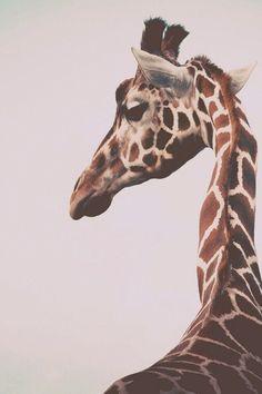 """ilaurens: """"Giant Giraffe - By: (Jaimie Wylie) """""""