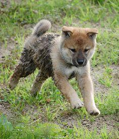 Shikoku dog breed information,Pictures