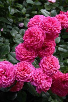 View album on Yandex. Very Beautiful Flowers, Amazing Flowers, Pretty Flowers, Purple Flowers, Pink Roses, Flowers Nature, Flower Pictures, Flower Power, Planting Flowers