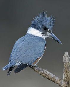 http://www.audubon.org/field-guide/bird/belted-kingfisher