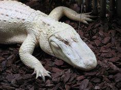 photo albino_alligator.jpg