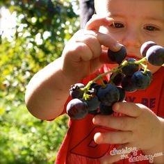 How to make wine from grapes in Croatia