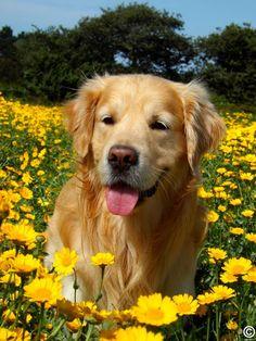 Golden retriever in a flower field! :D