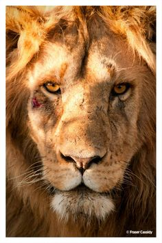 """""""The lion does not turn around when a small dog barks"""" - African Proverb #WorldLionDay """