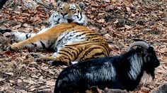 Hunger games? 5 reasons Amur the Tiger hasn't eaten Timur the Goat  http://pronewsonline.com  © Vitaliy Ankov