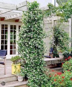 Star jasmine vine - using this over the roof of my patio trellis. Jasmine Star, Balcony Plants, Indoor Plants, Design Cour, Patio Trellis, Pot Plante, Ground Cover Plants, Jasmine, Yard Design