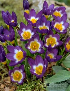 Tricolor Specie Crocus - Going in one of my pots for Early Spring :) Only $6.27 for 25 bulbs!