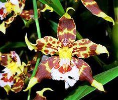 http://fichas.infojardin.com/foto-orquideas/odontoglossum.jpg
