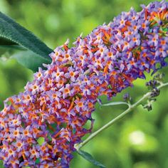Blueberry cobbler butterfly bush (Buddleia 'Podaras #4' PP22109). Heat and drought tolerant. Blooms early summer until first frost. Grows 4-6' tall with a similar spread in full sun or partial shade.  Order online in February  http://www.springhillnursery.com/product/blueberry_cobbler_butterfly_bush-buddleia_podaras_/shrubs_hedges
