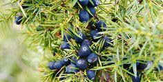 Le bacche di Ginepro hanno infatti molte proprietà interessanti, in particolare l'olio essenziale viene sfruttato per le affezioni delle vie urinarie e respiratorie. Si possono semplicemente masticare le bacche di ginepro per aiutare la digestione. http://dietagrupposanguigno.altervista.org/proprieta-bacche-ginepro/