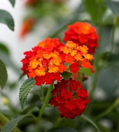 Lantana- If you have a hot, baked spot, lantana is your answer. This hardworking plant not only thrives with little moisture and in full, unyielding sun, it does so with ease. In fact, lantana is a flower that seems to have it all: It produces an abundance of brightly colored flowers all summer and fall, and it's a magnet for butterflies (hummingbirds like it, too).