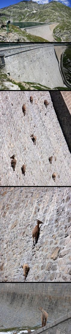Awesome goats can climb a dam!