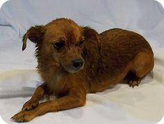 Rossford, OH - Chihuahua/Miniature Pinscher Mix. Meet ARTIE a Dog for Adoption.
