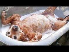 When they get out and are drying off it reminds me of our childhood dog Duke.  He was a good dog! 'Funny Dogs vs. Bath Time' Compilation - FunnyTV