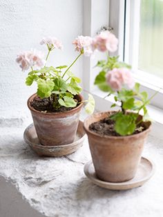 Rustic cottage charm tere are those wonderful pale pink geraniums again....my absolute favorite for a cottage lool