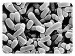 Lactobacillus Bulgaricus - най-старият пробиотик на света
