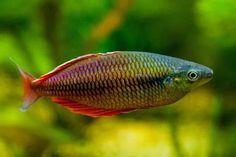 Melanoteania irianjaya Tropical Freshwater Fish, Freshwater Aquarium Fish, Tropical Fish, Ichthys, Rainbow Fish, Fish Ponds, Beautiful Fish, Sea Creatures, Fish Tank