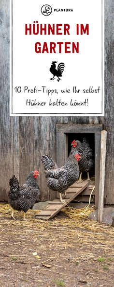Hühner im Garten: 10 Profi-Tipps zur richtigen Haltung - Plantura Chickens in the garden - professional tips on how to keep chickens yourself: Everything you need to know about keeping chickens, from Buy Chickens, Keeping Chickens, Tiered Planter, Chicken Eating, Chicken Breeds, Animal Wallpaper, Coops, Farm Animals, Outdoor Gardens