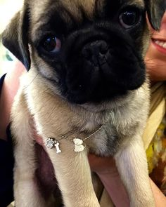 We had fun meeting one of our staff's newest family members, Penelope The Pug. She really wore the @alexwoonyc pug and diamond paw pendants well #AlexWoo #HowWeWoo #necklace #diamond #pendant #sterling #silver #aotd #pugsofinstagram #puglife #pugWoo #friday #fun #funday #love #puppylove #dogsareagirlsbestfriend #clarksonjewelers #stl #stlouis