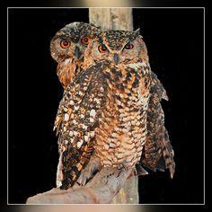Cape Eagle-Owl Bubo capensis - Google Search