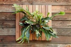 Staghorn Fern by Daniel Nolan for Flora Grubb Gardens Air Plants, Indoor Plants, Staghorn Fern, Flora Grubb, Pot Jardin, Plant Wall, Gardening For Beginners, Garden Pots, Container Gardening