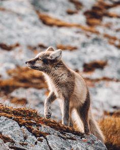 White Arctic Fox in Svalbard, Spitsbergen, Norway via Polar Bear On Ice, Polar Bears, Scenic Photography, Night Photography, Photography Tips, Landscape Photography, Fin Whale, Svalbard Norway, Animals