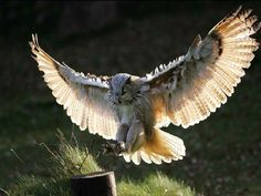 African horned owl   ... Jung SuWon Instructor: Great Grandmaster Tae Yun Kim rescues an Owl